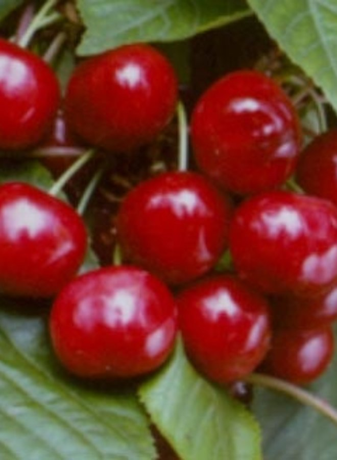 Kersenboom | Prunus avium Stella
