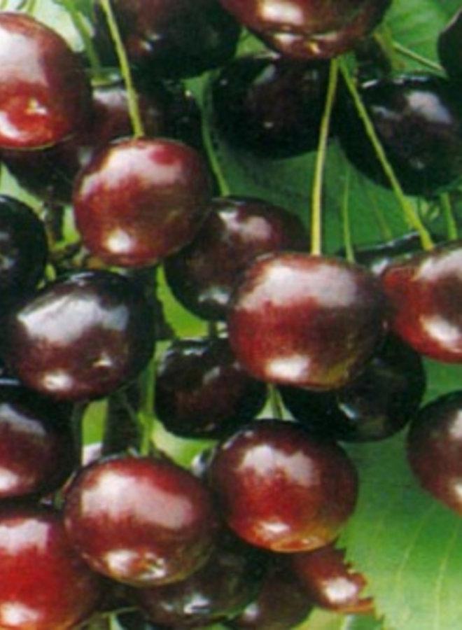 Kersenboom - Prunus avium Sweetheart