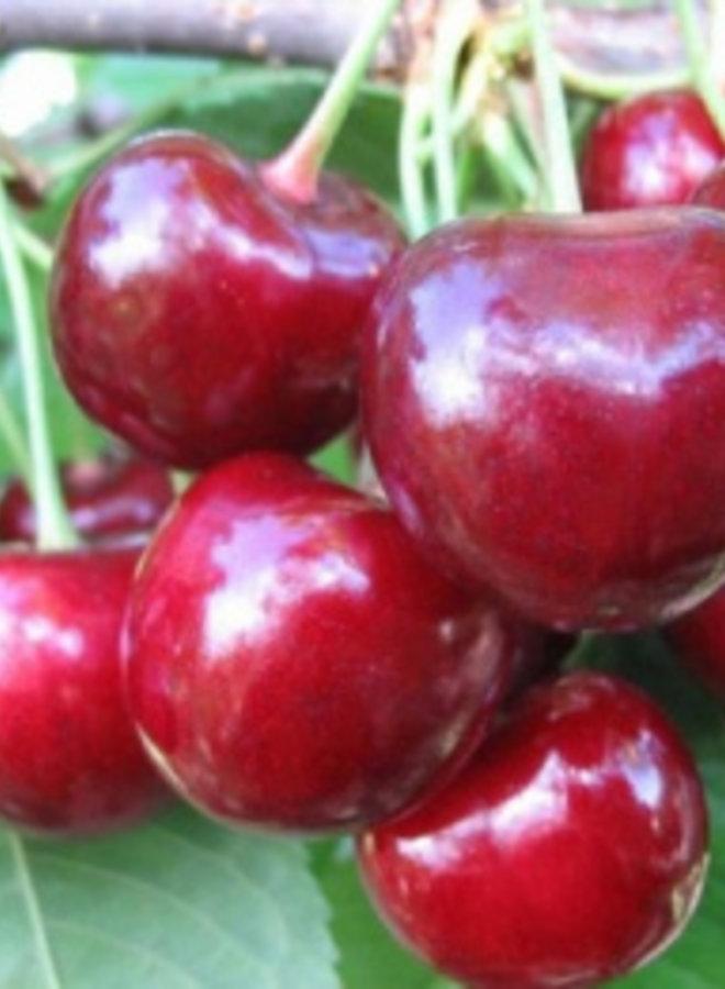 Kersenboom | Prunus avium Sylvia