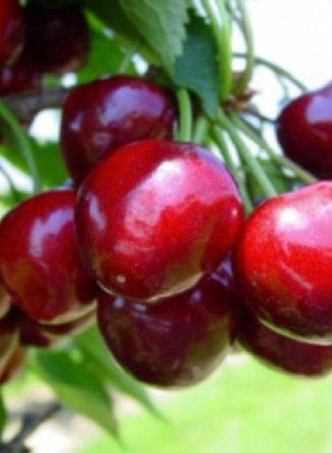 Kersenboom - Prunus avium Techlovan