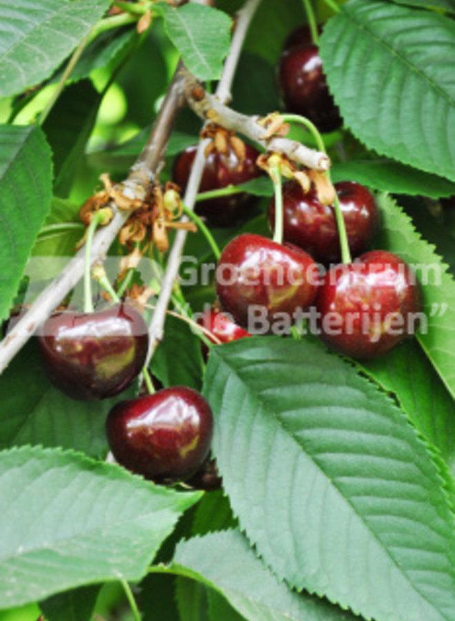 Kersenboom - Prunus avium Vanda