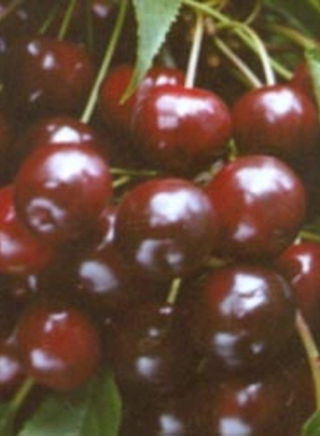 Kersenboom | Prunus avium Varikse Zwarte