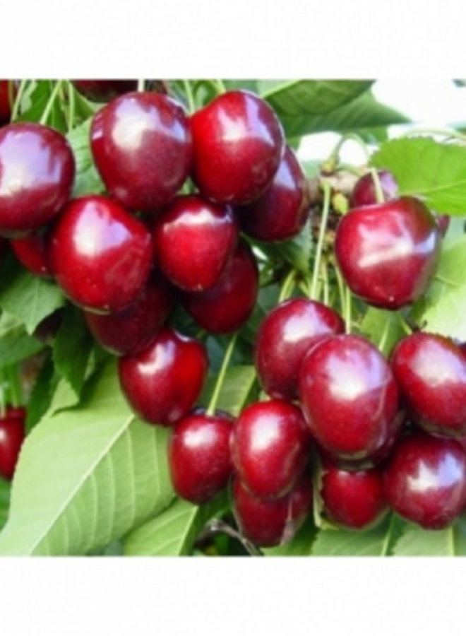 Kersenboom - Prunus avium Venus