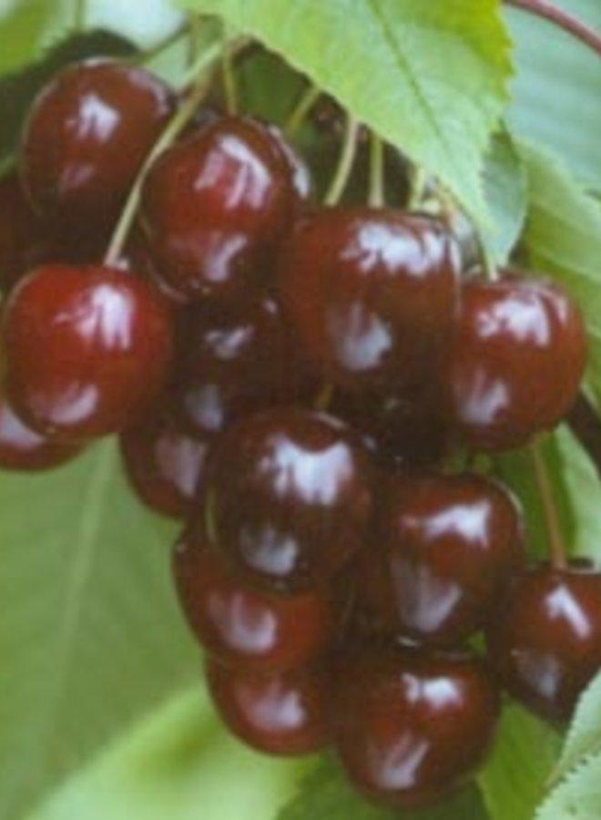 Kersenboom - Prunus avium Wijnkers
