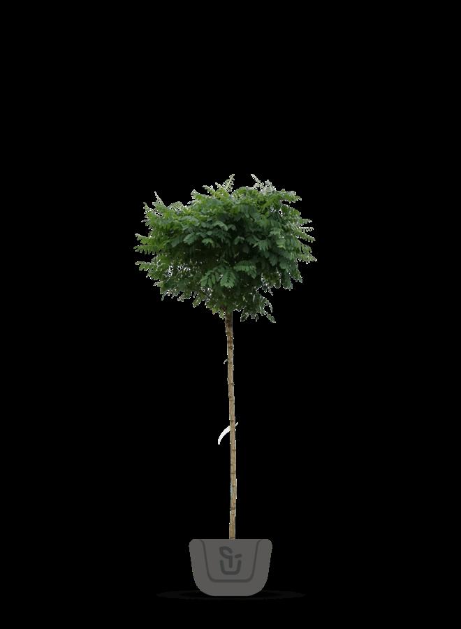 Bolacacia - Robinia pseudoacacia Umbraculifera