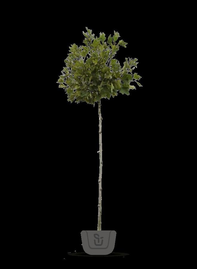 Bolplataan - Platanus acerifolia Alphens Globe