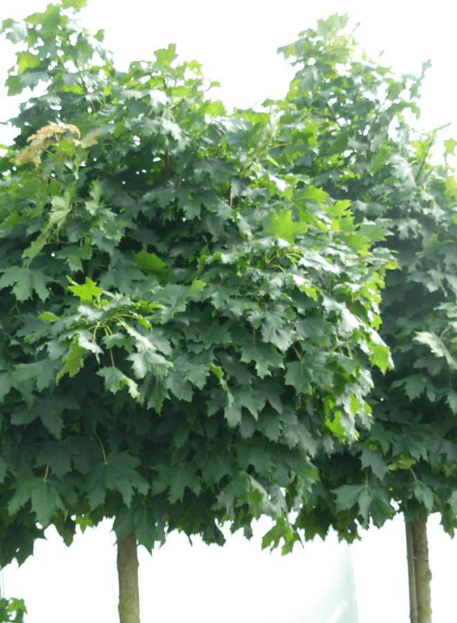 Bolesdoorn - Acer platanoides Globosum