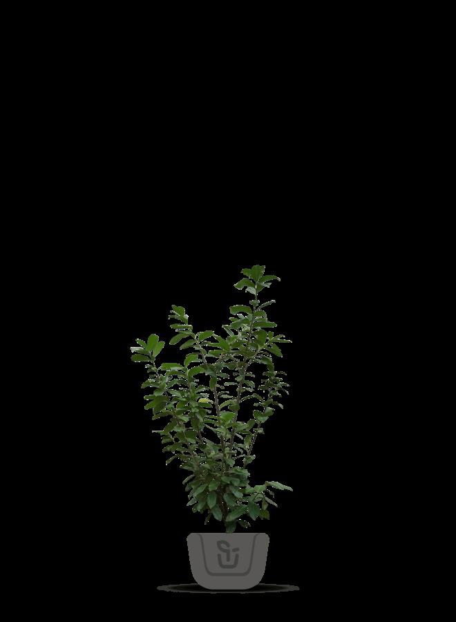 Laurier voor haag - Prunus laurocerasus Novita
