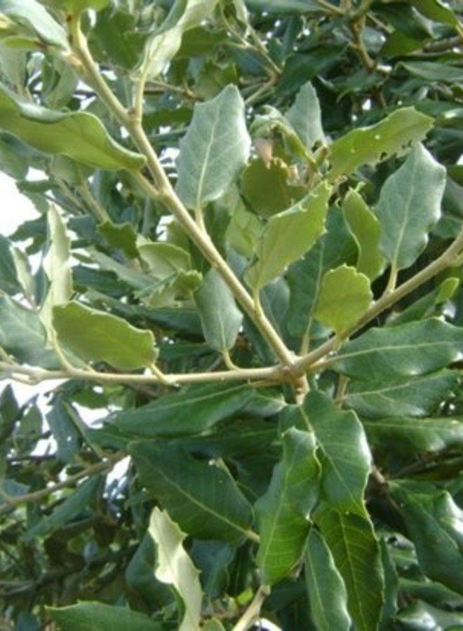 Steeneik - Quercus Ilex