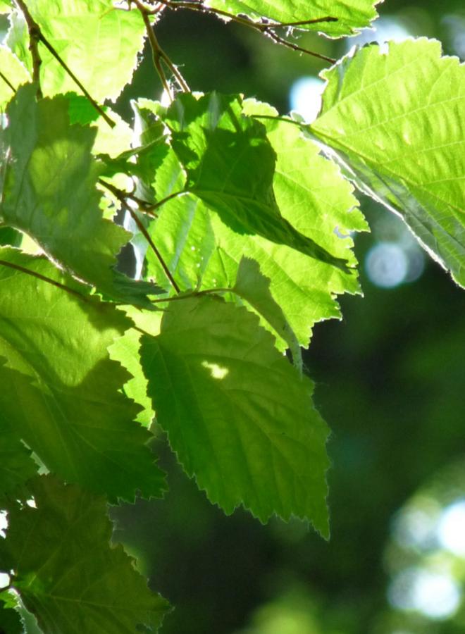 Boomhazelaar - Turkse hazelaar-Corylus Colurna