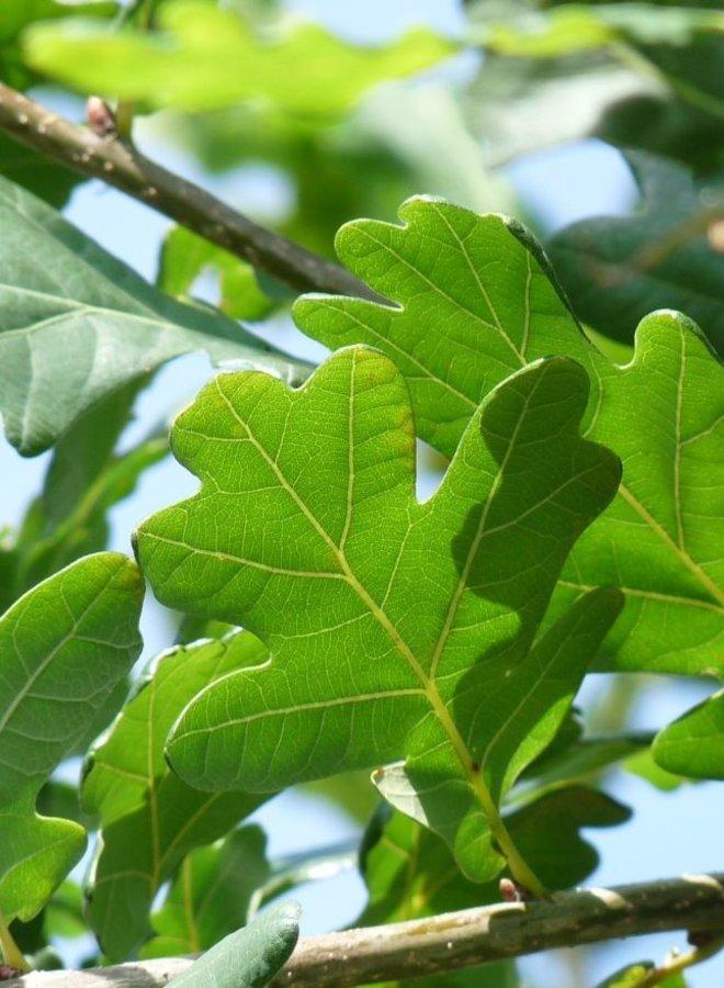 Eik-Quercus Robur