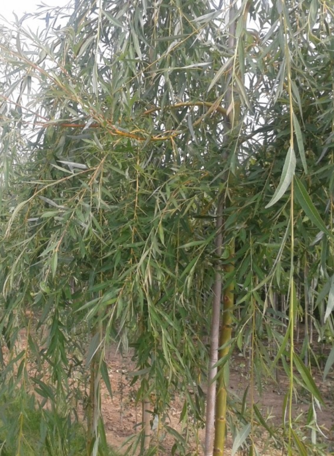 Treurwilg - Salix sepulcralis Chrysocoma