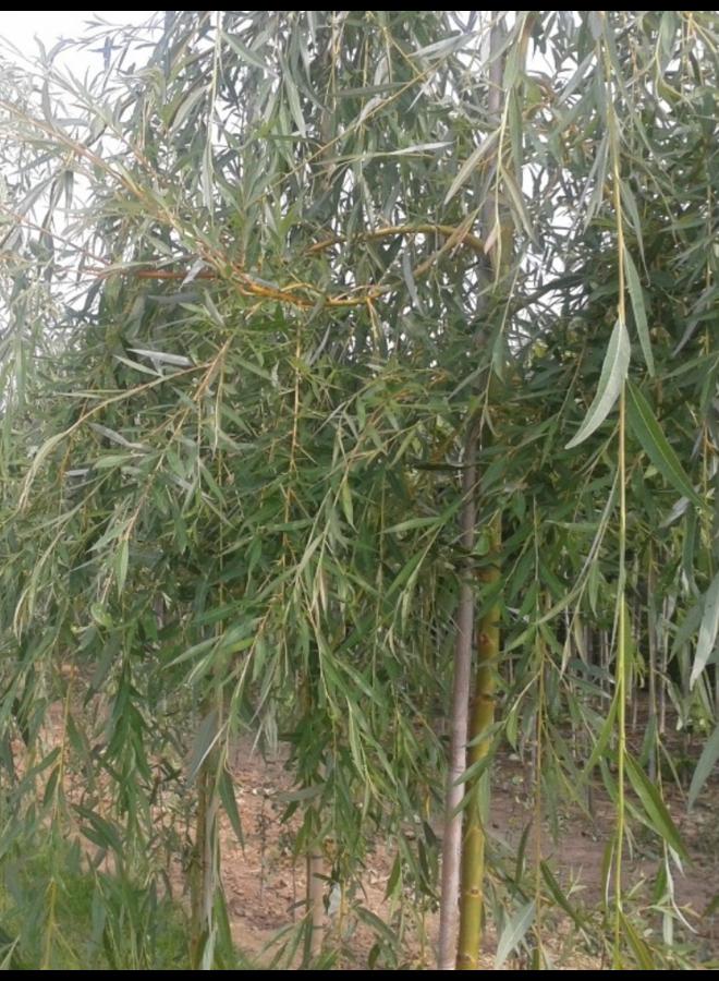 Treurwilg | Salix sepulcralis Chrysocoma