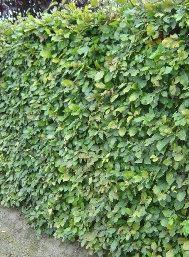 Groene Beuk  voor haag- Fagus sylvatica