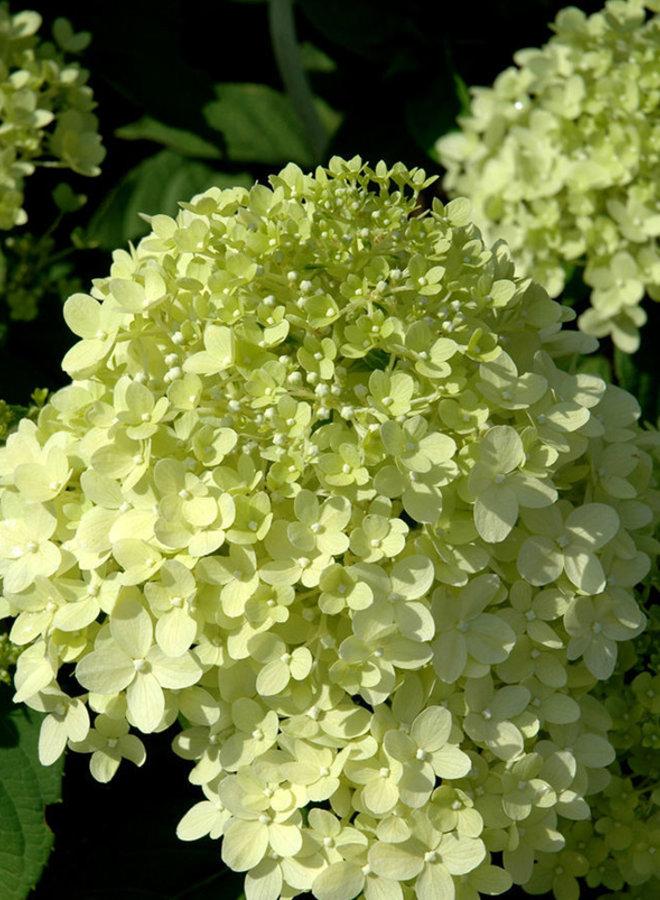 Hortensia - Hydrangea paniculata Limelight