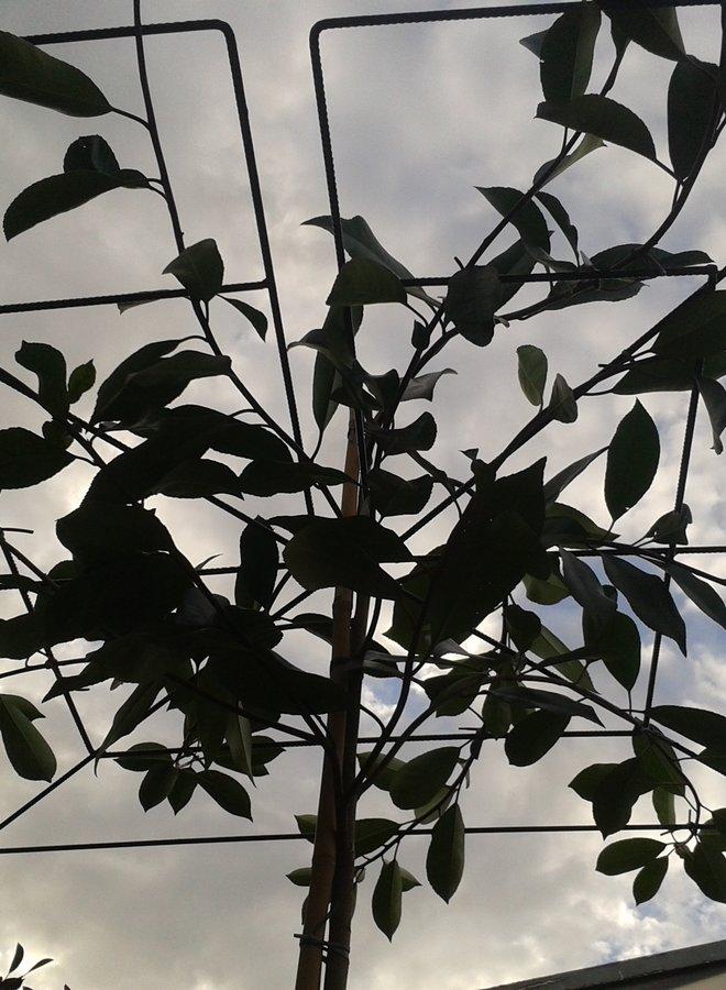 Dakphotinia - Photinia fraseri Red Robin