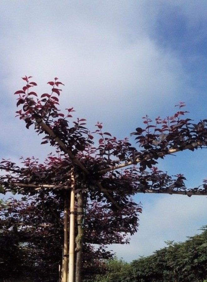 Daksierpruim - Prunus cerasifera Nigra
