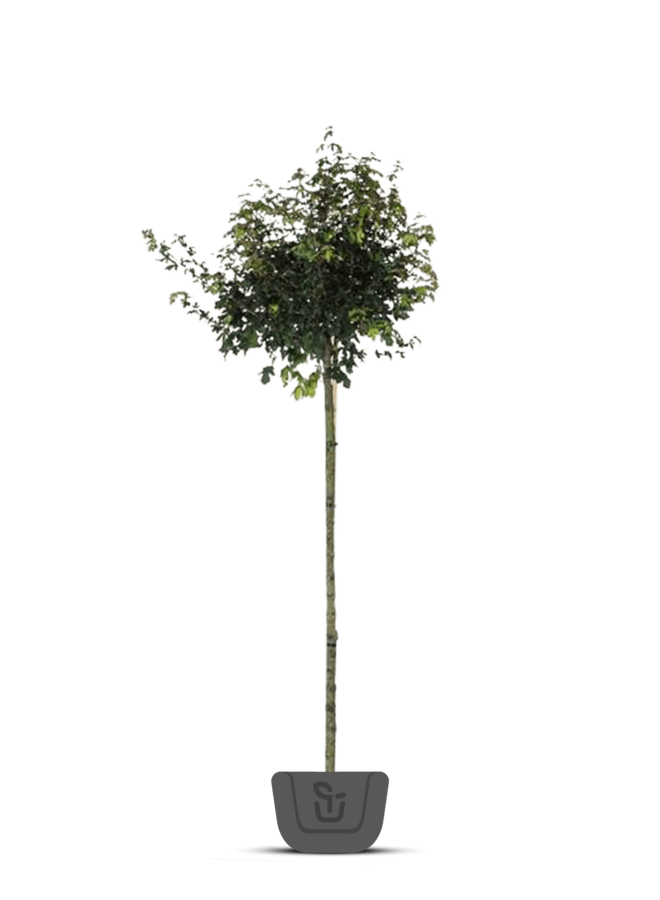 Veldesdoorn | Acer campestre Nanum