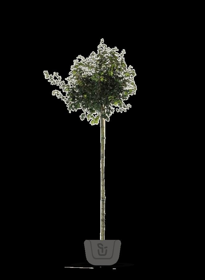 Veldesdoorn - bolboom - Acer campestre Nanum