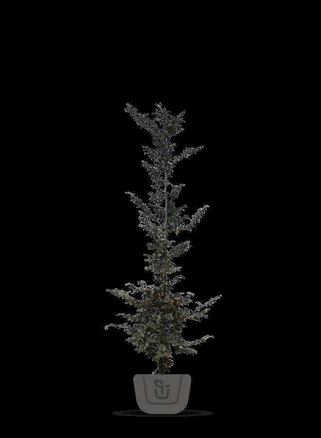 Rode Beuk - Fagus sylvatica Atropunicea