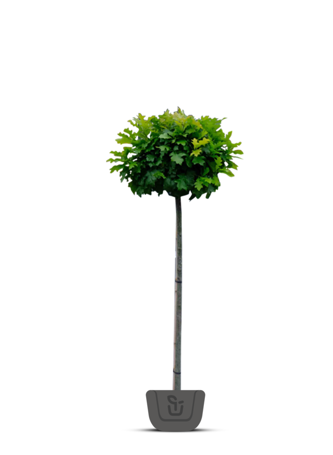 Boleik - Quercus palustris Green Dwarf
