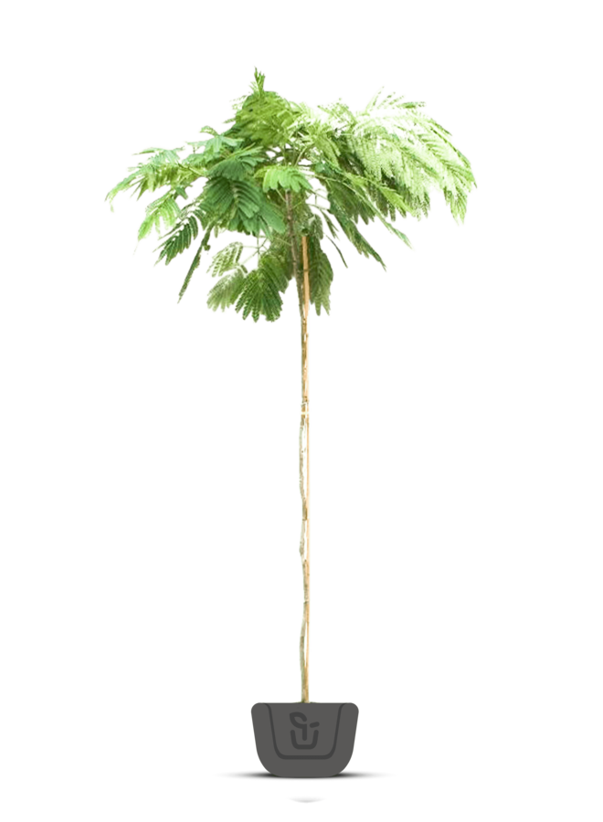 Perzische slaapboom - Albizia julibrissin Tropical Dream