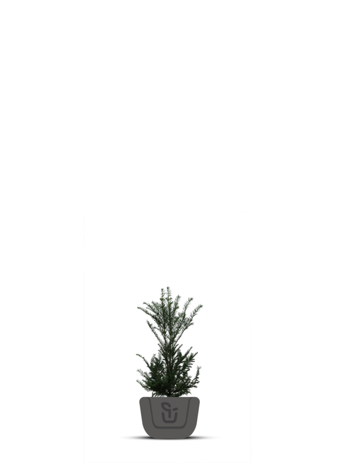 Venijnboom-Taxus Baccata