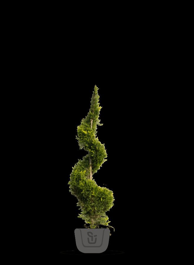 Spiraal conifeer | Cupressocyparis l. Castlewellan Gold