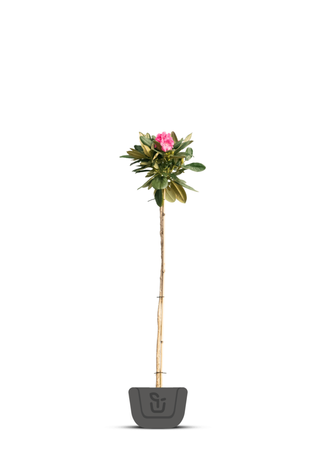 Rhododendron | Rhododendron yakushimanum