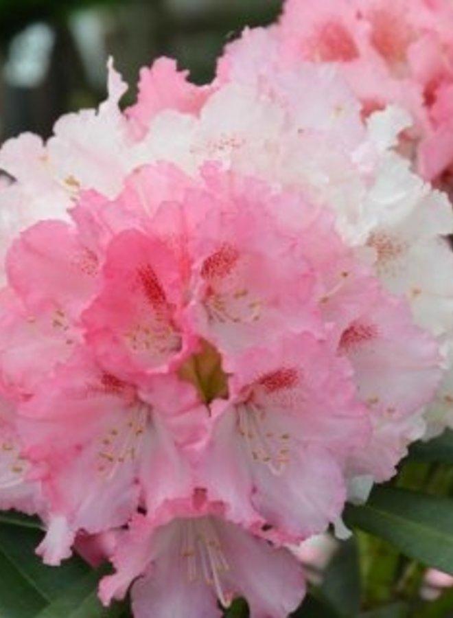 Rhododendron - Rhododendron yakushimanum