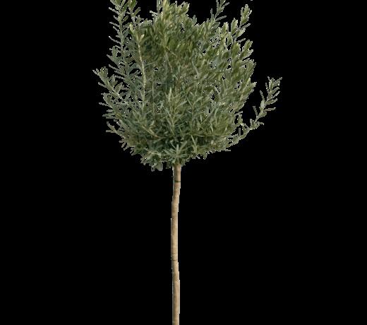 Mediteranne bomen