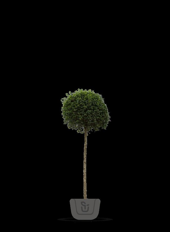 Liguster op stam – Ligustrum Delavayanum