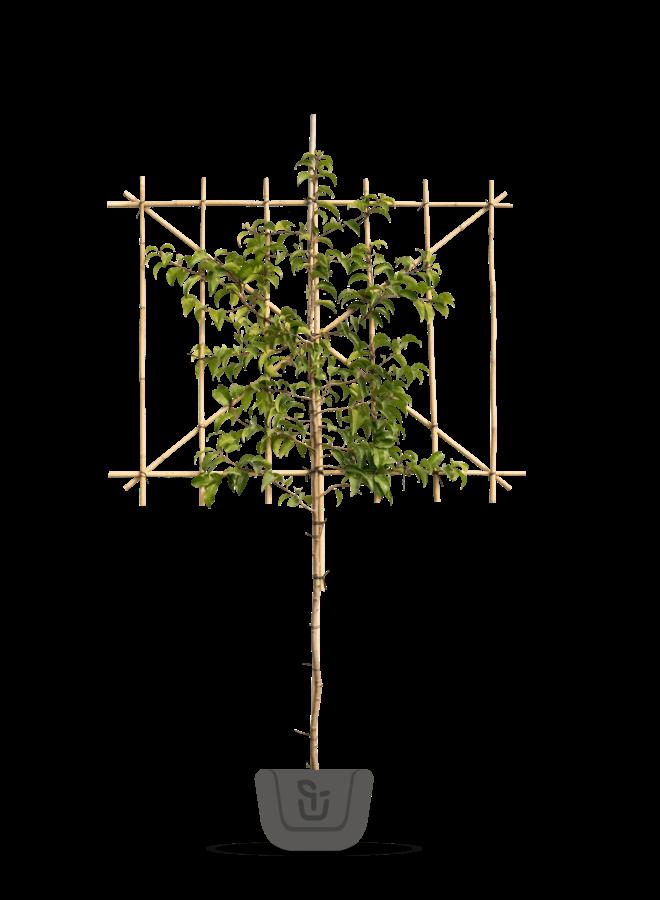 Lei-Portugese laurier | Prunus lusitanica Ybrazo | Tico