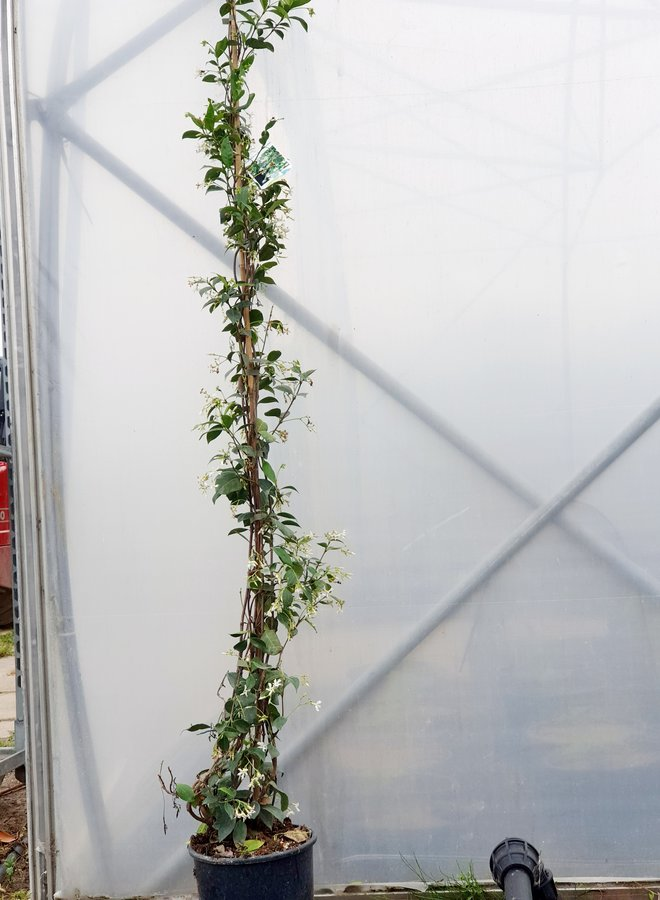 Toscaanse jasmijn | Trachelospermum jasminoides