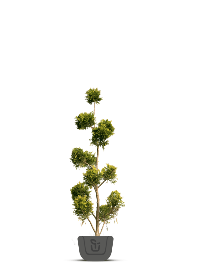 Pon pon conifeer   Cupressocyparis l. Castlewellan Gold