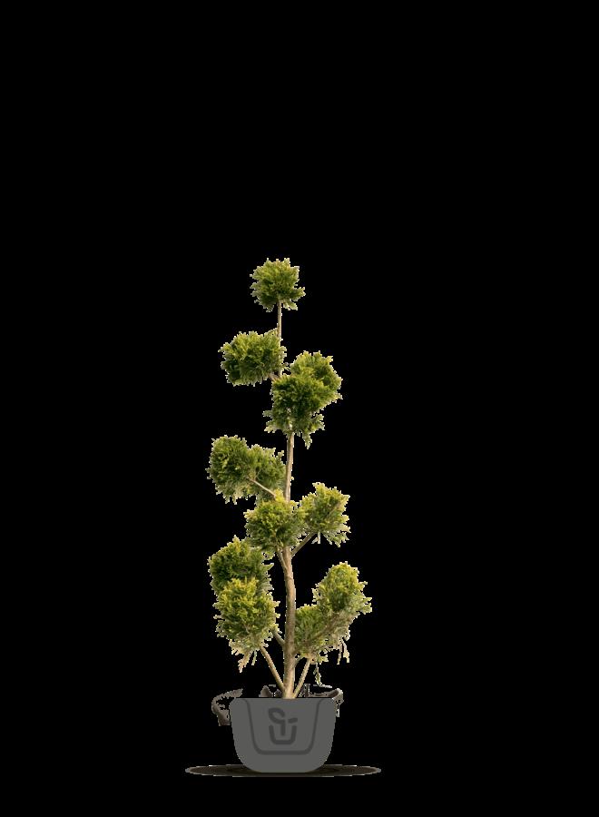 Ponpon conifeer | Cupressocyparis l. Castlewellan Gold