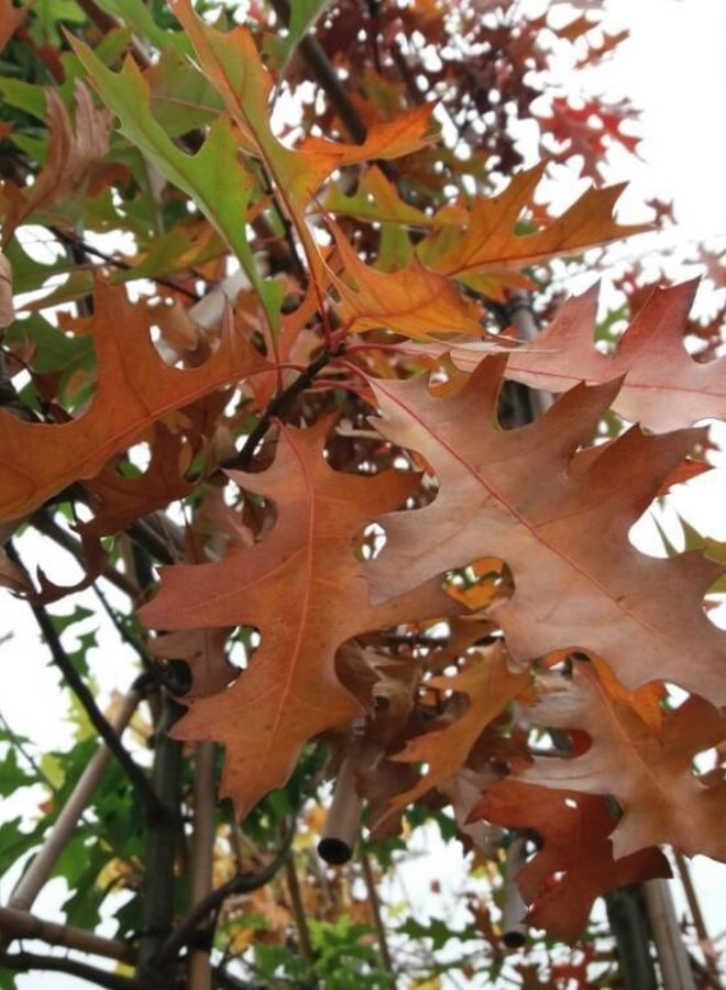 Moeraseik - Quercus Palustris