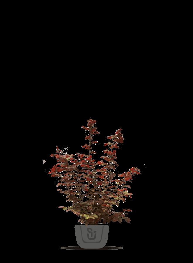 Paarse Hazelaar - Corylus Maxima Purpurea