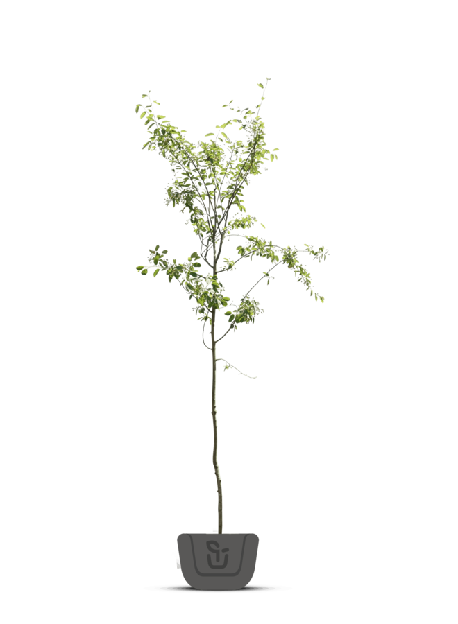 Krentenboom - | Amelanchier Lamarkii