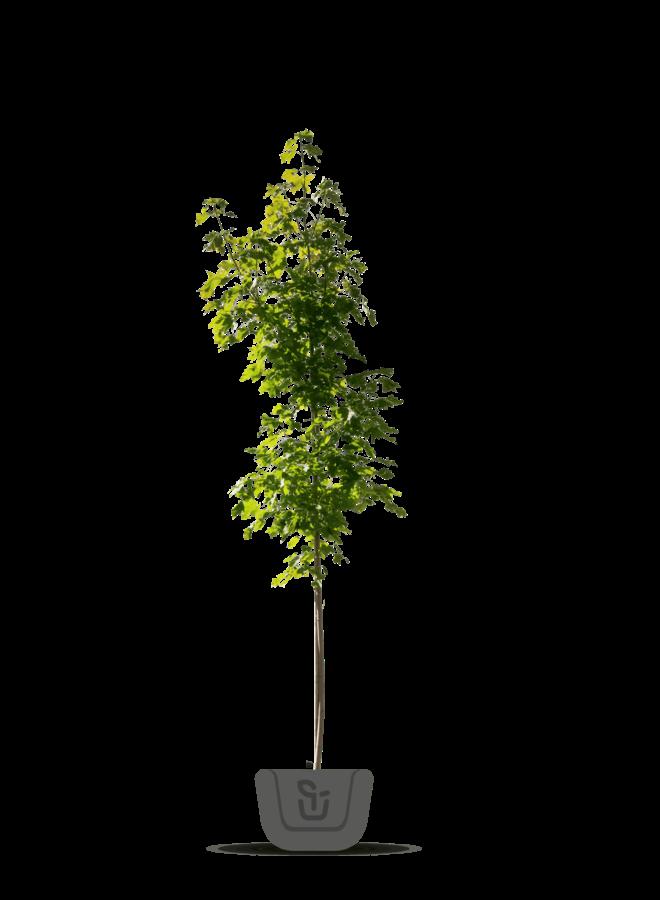 Smalle Noorse esdoorn - Acer plat. Columnare