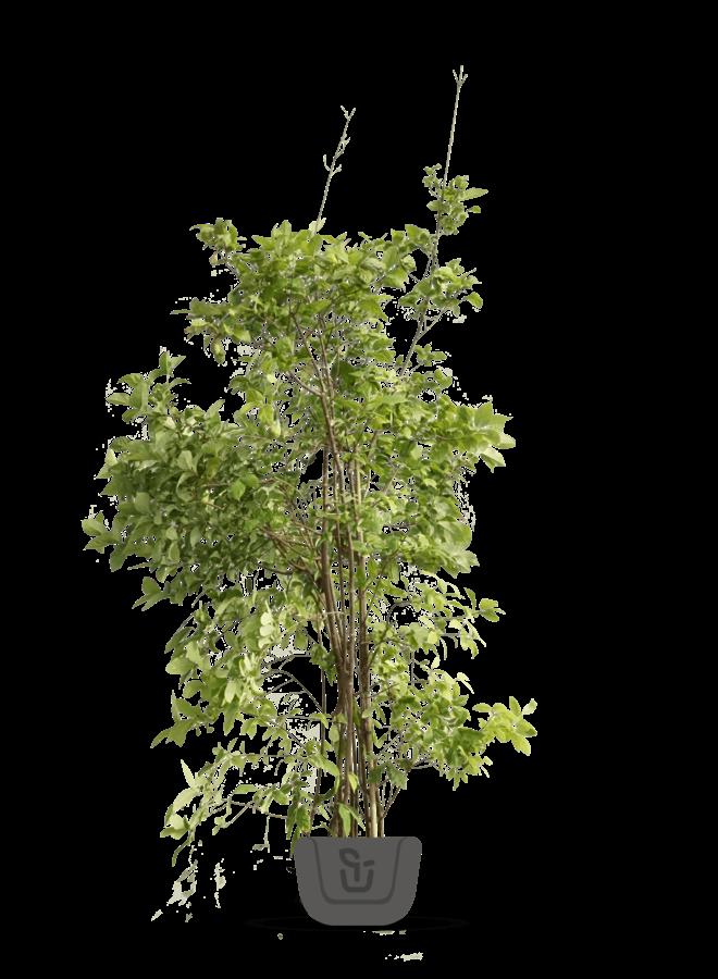 Specerijstruik - Calycanthus floridus