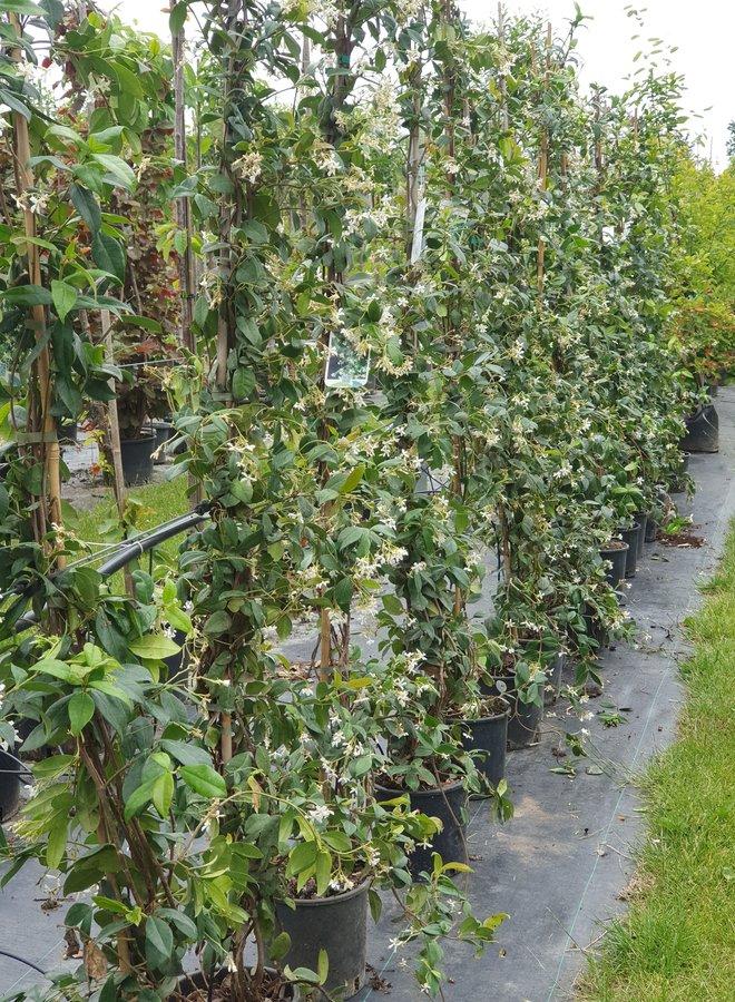 Toscaanse jasmijn   klimplant