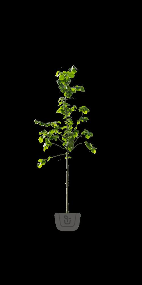 Lindebomen