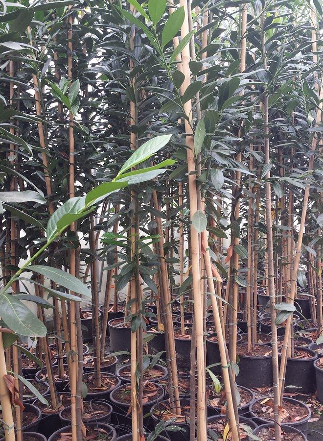 Laurier boom - hoogstam
