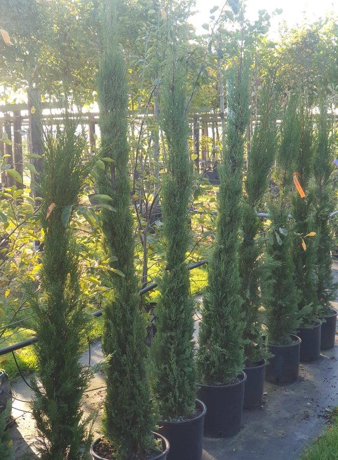 Italiaanse cipres | Cupressus sempervirens