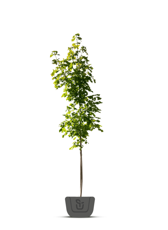 Esdoorn - Acer platanoides Drummondii