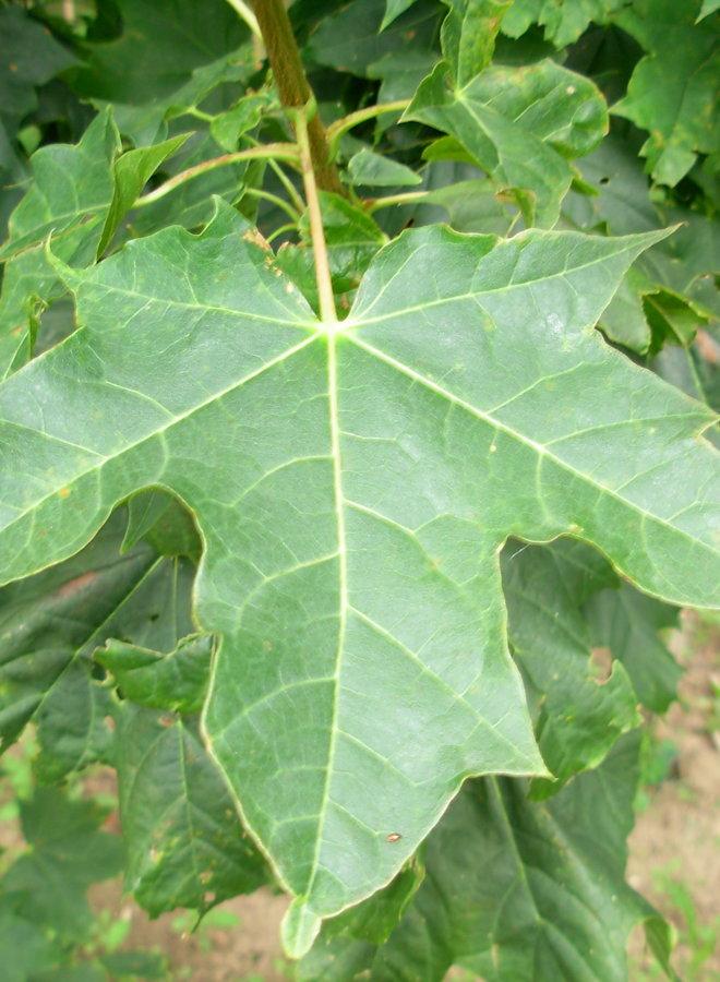 Esdoorn - Acer platanoides Farlake's Green