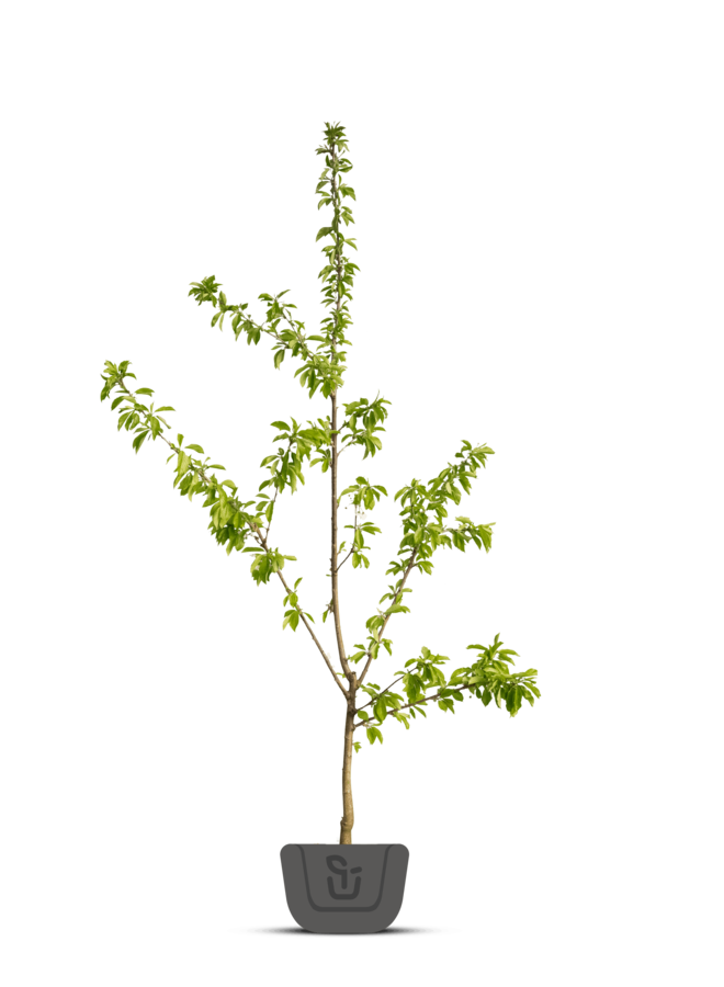 Kersenboom   Prunus avium Octavia