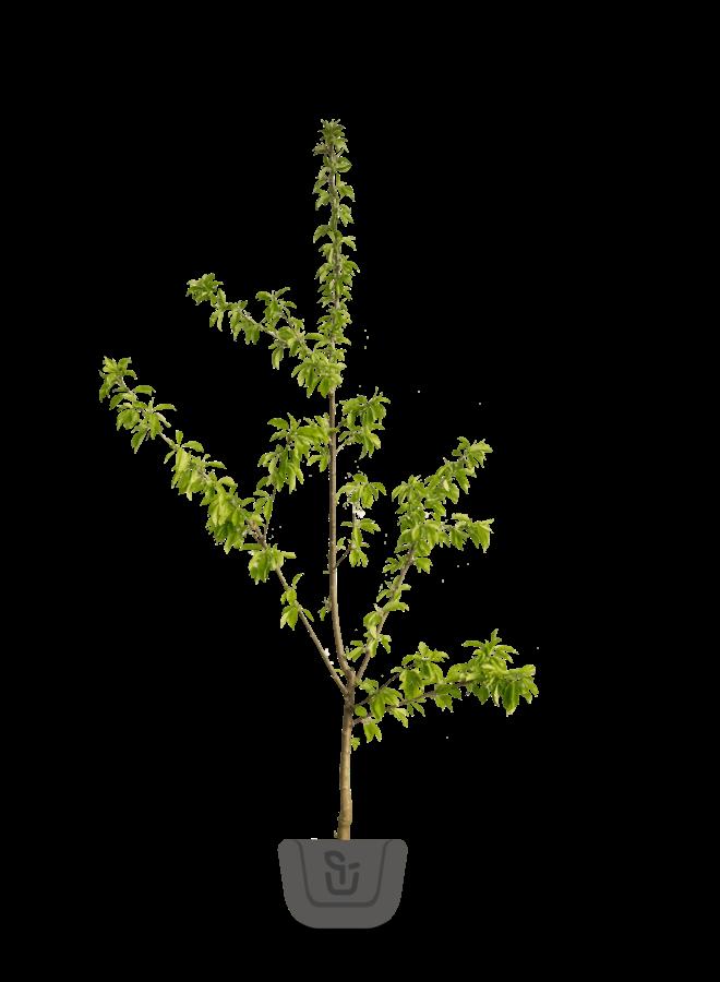 Kersenboom | Prunus avium Mierlose Zwarte