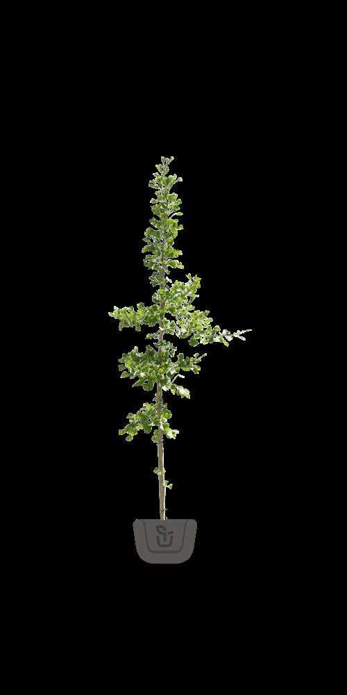 Ginkgo biloba bomen
